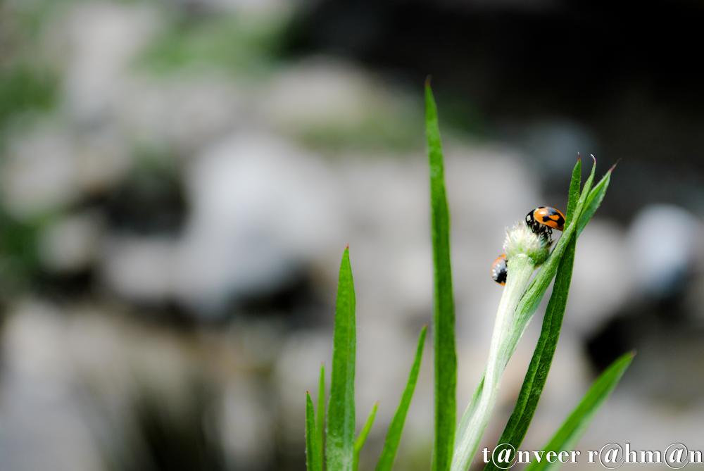 #Lady bug on a flower bud – Seasonal Beautiful Flowers of Darjeeling