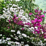 White & crimson azaleas - Seasonal Beautiful Flowers of Darjeeling