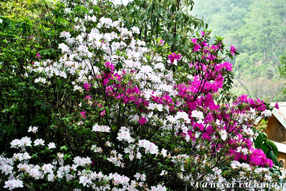 #White & crimson azaleas – Seasonal Beautiful Flowers of Darjeeling